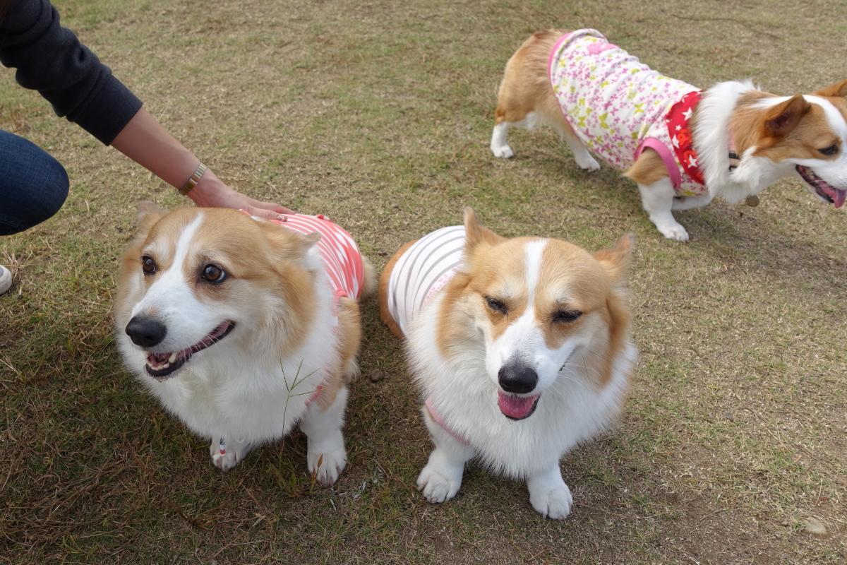 静岡deコーギー祭り6