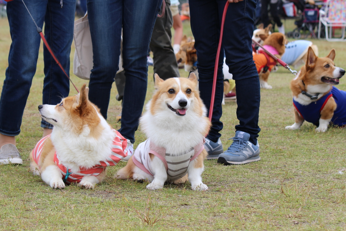 静岡deコーギー祭り14