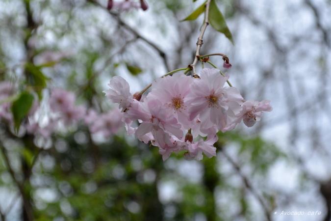 太閤千代枝垂れ桜
