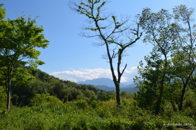 散歩・合歓木