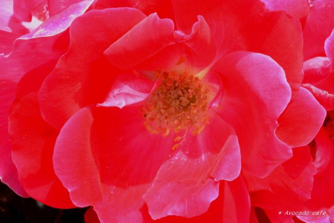 バラの花1
