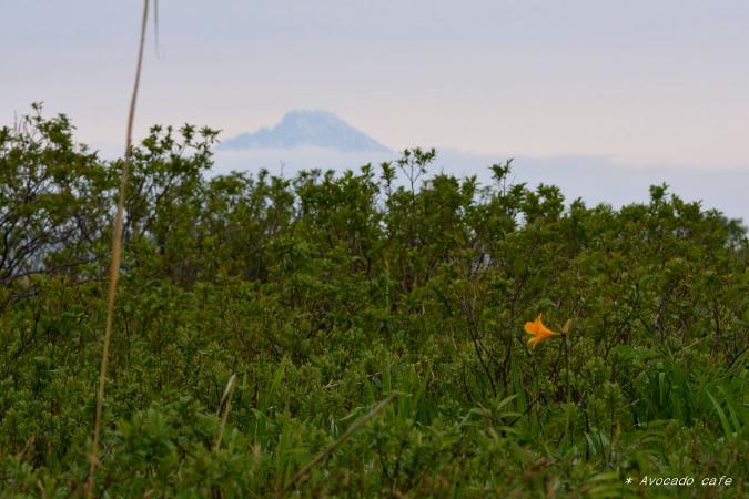 エゾカンドウと利尻山