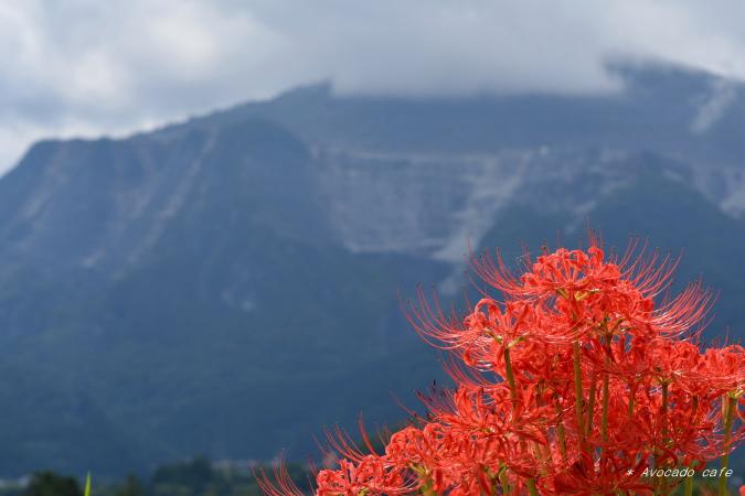 彼岸花と武甲山