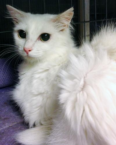 白の半長毛の女の子 ルフィーちゃん