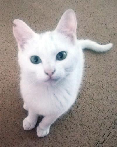 頭に薄いグレーの入った白猫シュガーくんも参加します