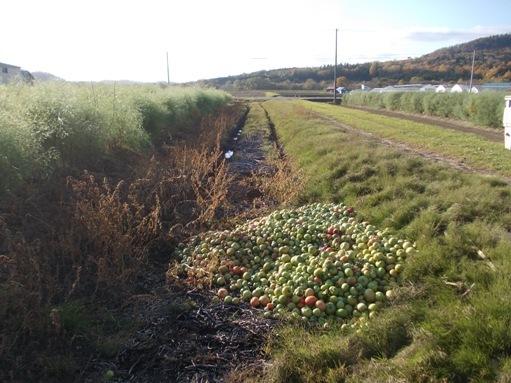 20161018_廃棄トマト