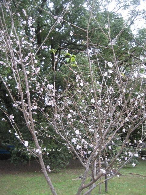 161011御所さんぽ⑩10月の桜