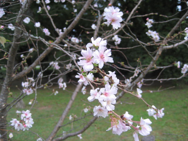 161011御所さんぽ⑪10月の桜