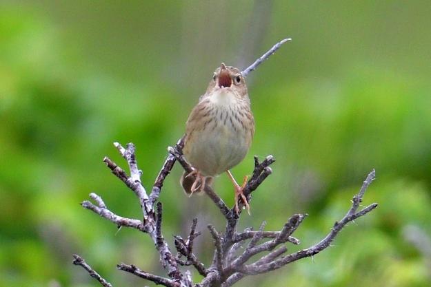 マキノセンニュウ (道東の野鳥④...
