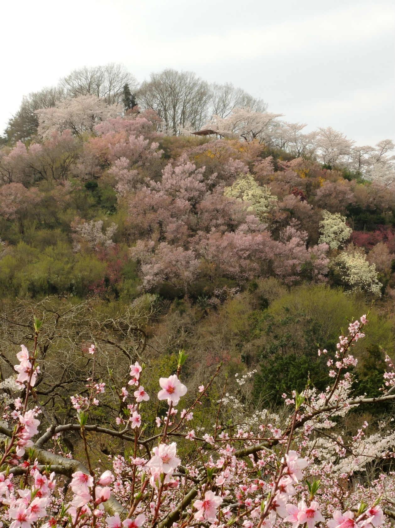 花の谷コースからの花見山2