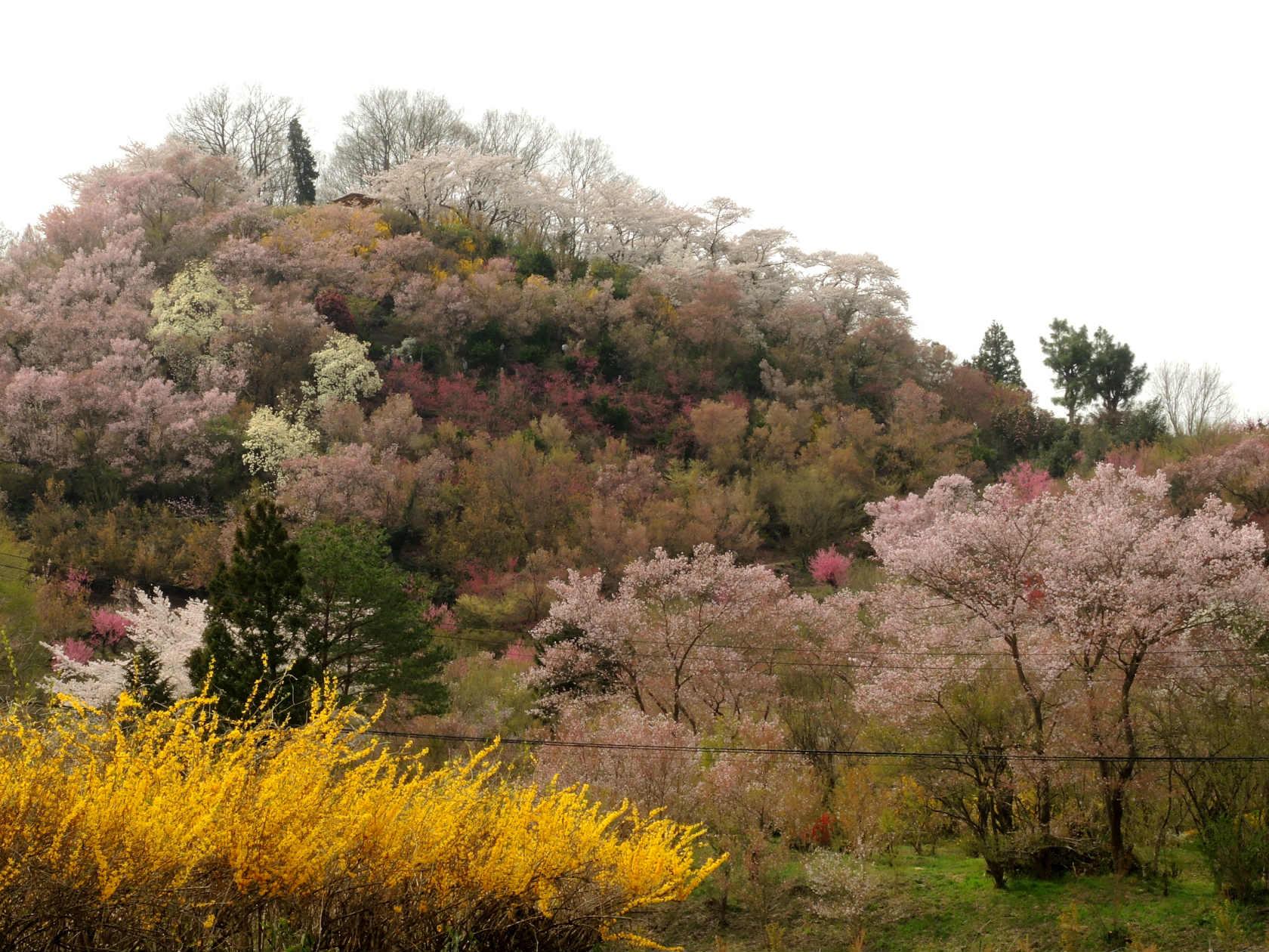 花の谷コースからの花見山3