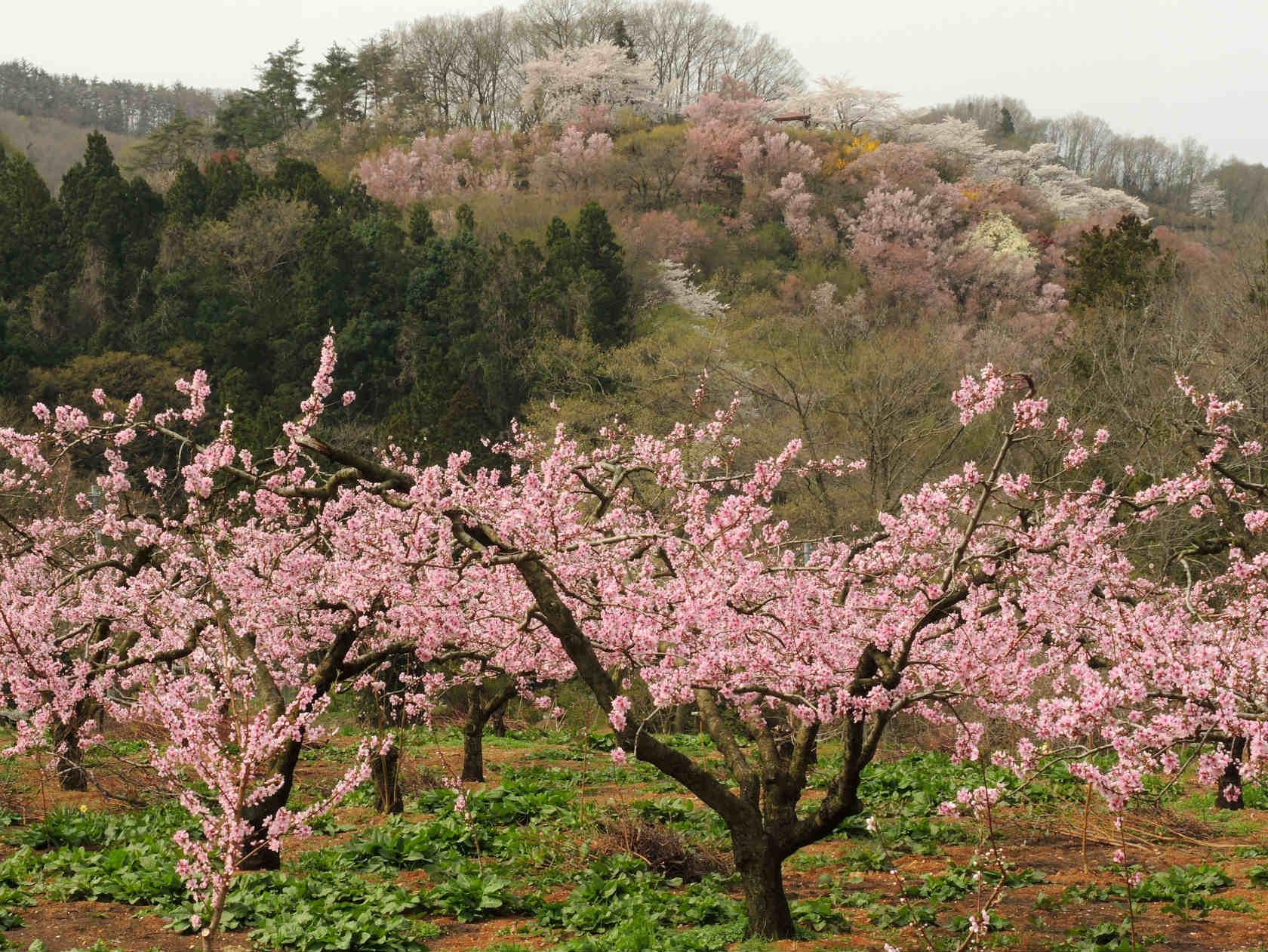 花の谷コースからの花見山1