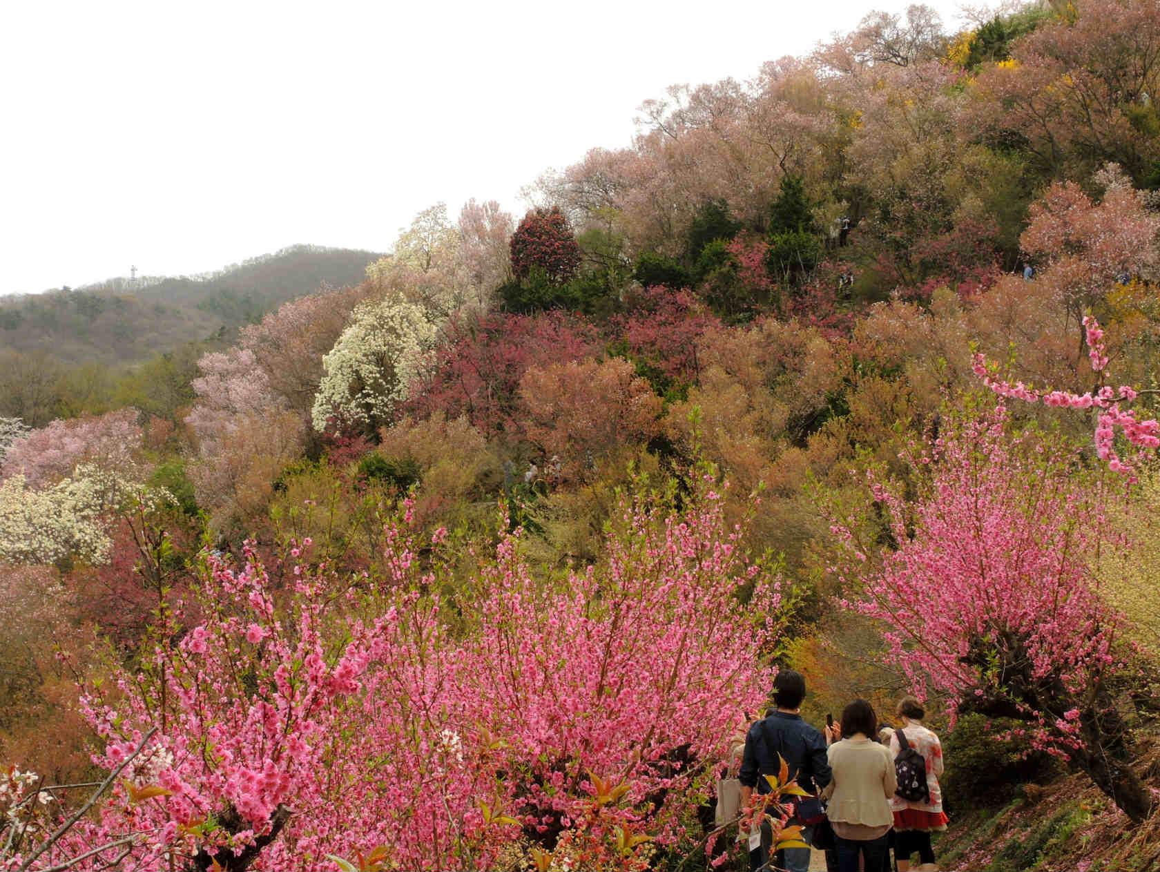 花見山 ハナモモ