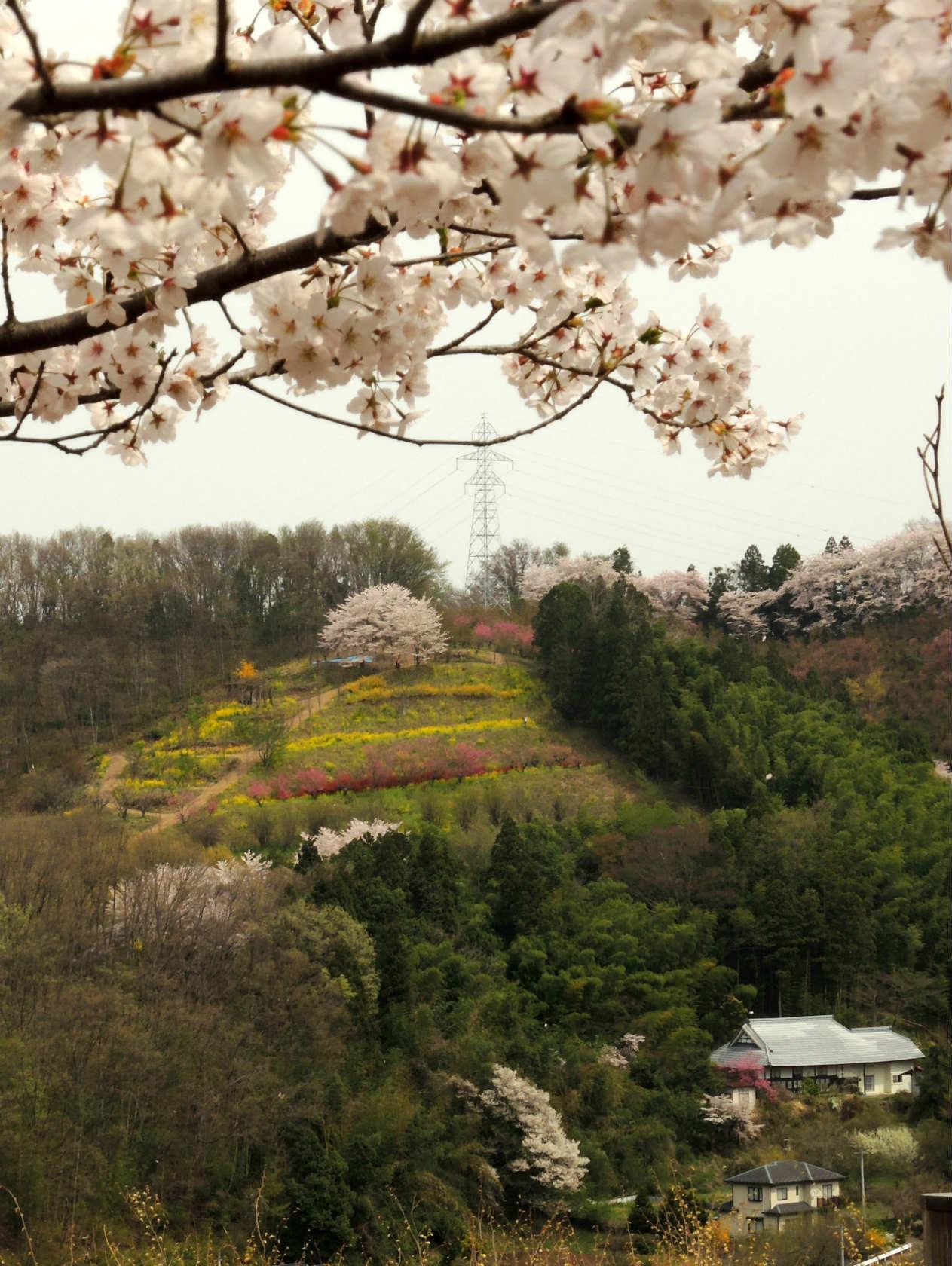 花見山から