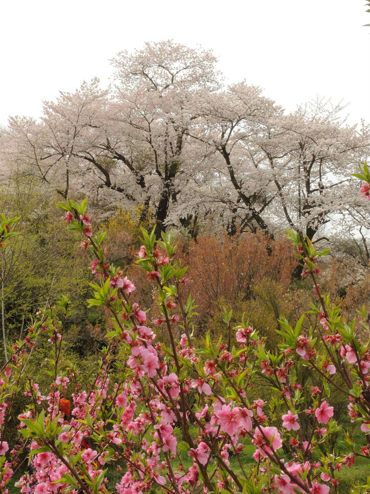 花見山公園周辺2