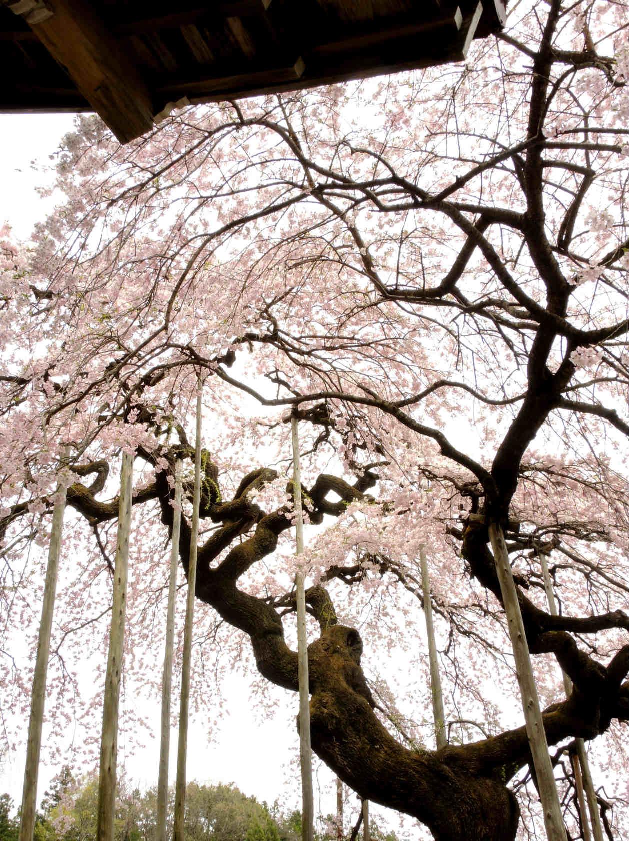 慈徳寺の種まき桜3