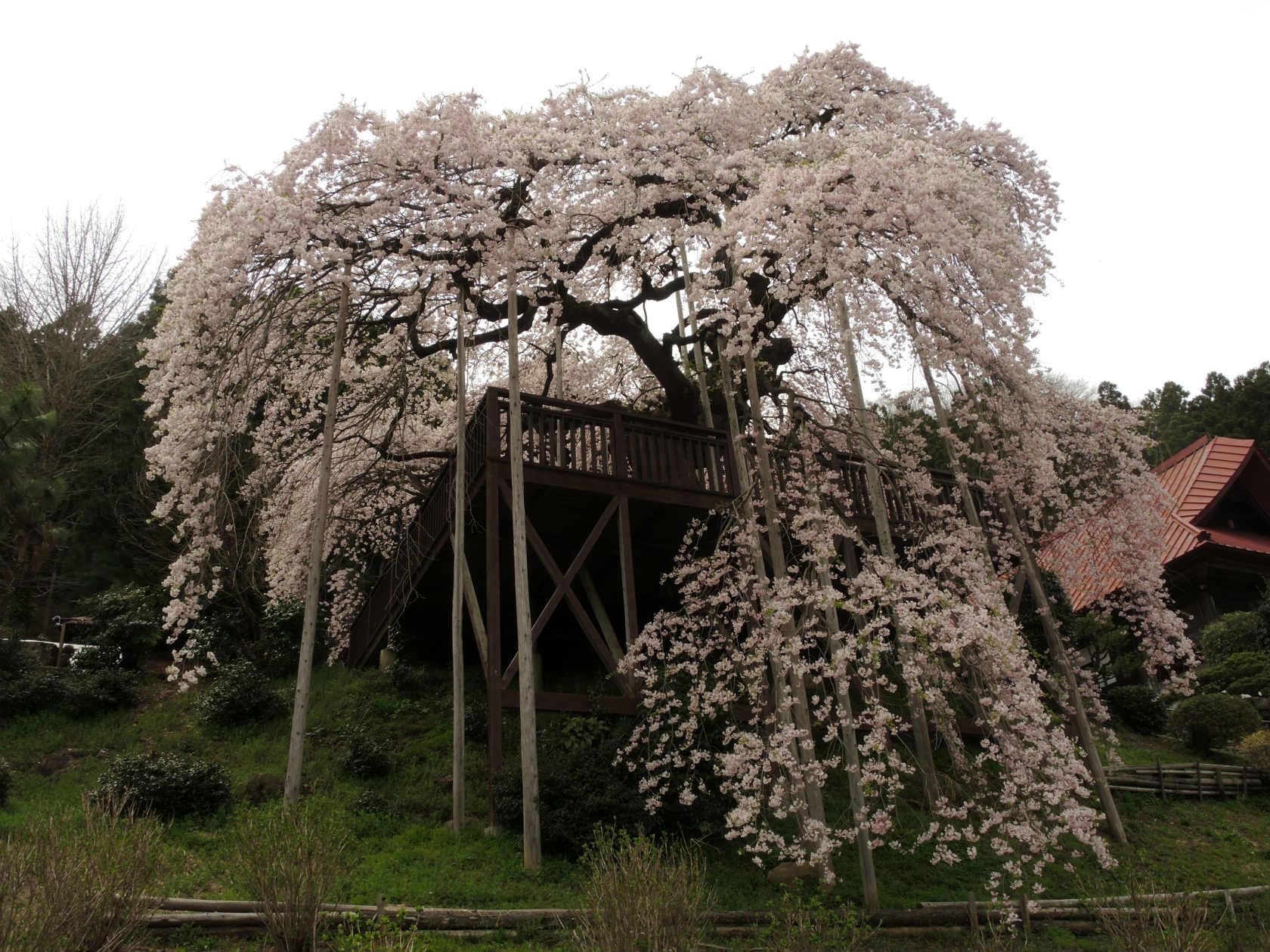 慈徳寺の種まき桜1