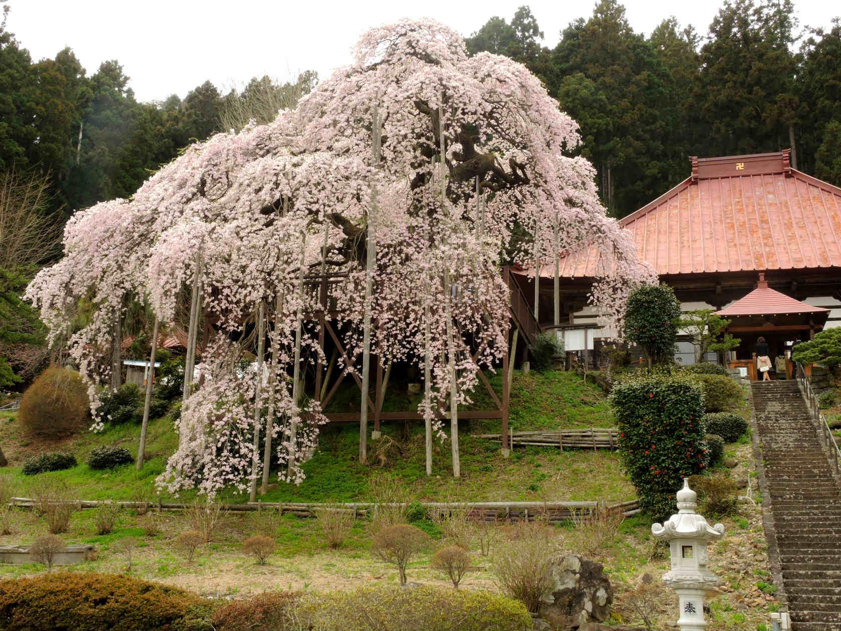 慈徳寺の種まき桜2
