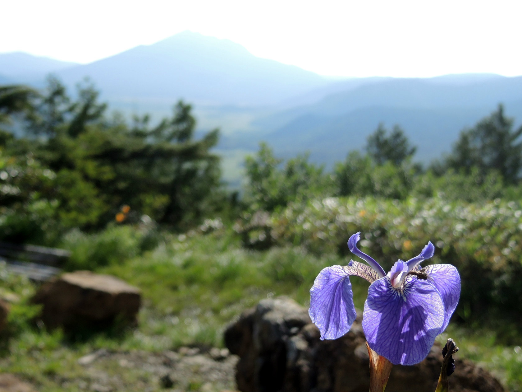 至仏山のノハナショウブ