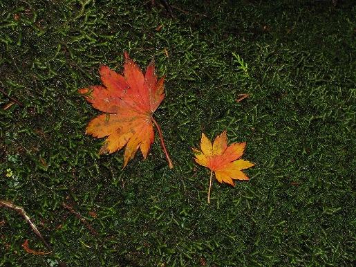 カエデの紅葉