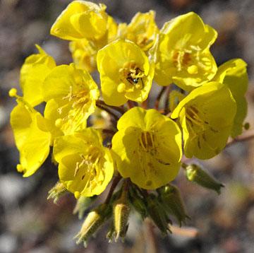 blog 5 (8x8) Death Valley, Evening Primrose (), CA_DSC5619-4.2.16-4.2.16.jpg