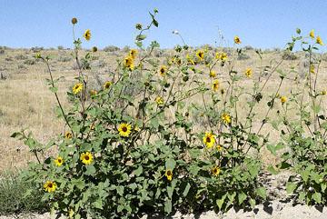 blog 24742 Sunflower, Little Sahara, Delta, UT-8.10.07.jpg