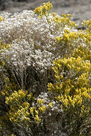 blog 24741 Rabbitbush ?, Little Sahara, Delta, UT-8.10.07.jpg