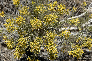 blog 24739 Rabbitbush ?, Little Sahara, Delta, UT-8.10.07.jpg