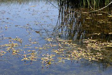 blog 24781 Water Smartweed, Comins Lake, Ely, NV-8.10.07.jpg