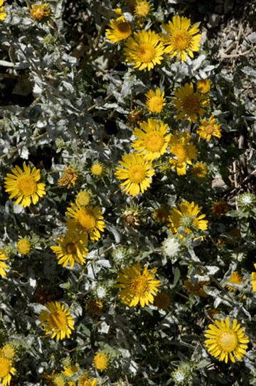blog 24782 Gum Plant, Steptoe Valley, Ely, NV 2-8.10.07.jpg