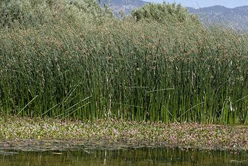 blog 24780 Water Smartweed, Reed & Weed, Comins Lake, Ely, NV-8.10.07.jpg