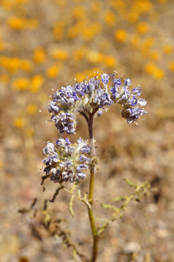 blog 6 Mojave to Death Valley, 395S Kramer Junction, Phacelia, CA_DSC5640-4.3.16.jpg