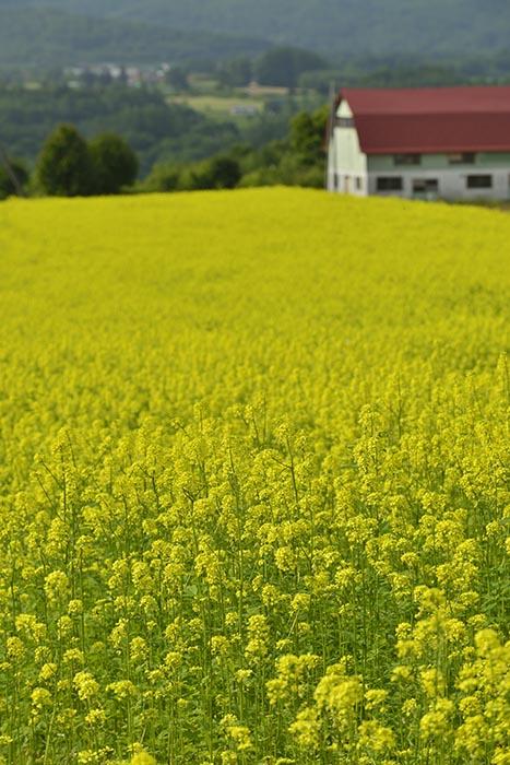 黄色の絨毯2