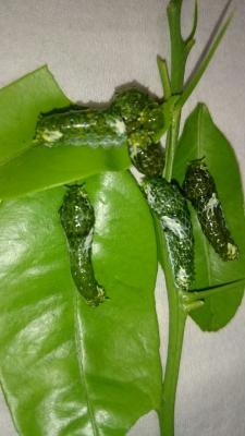 ミャンマー×沖縄産ナガサキ幼虫