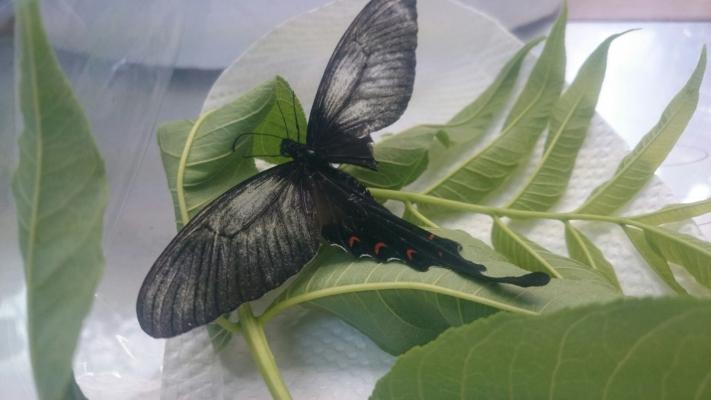 オナガアゲハ母蝶2016