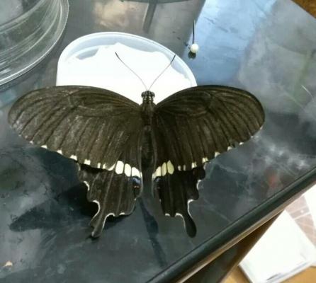 シロオビアゲハ母蝶2016