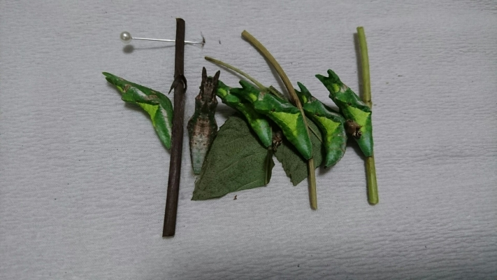 兵庫県産オナガアゲハ蛹2016