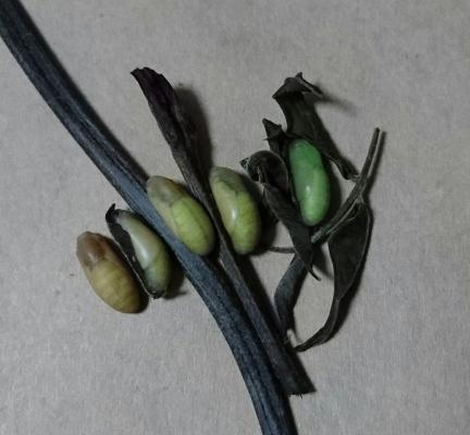 アサマシジミ蛹2016