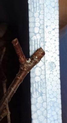 メスアカミドリ卵2016