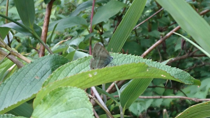 タニウツギ葉上のフジミドリ♂