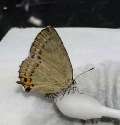 ウラキンシジミ母蝶2016