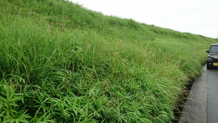 ナンテンハギが多い自生地(加西市)