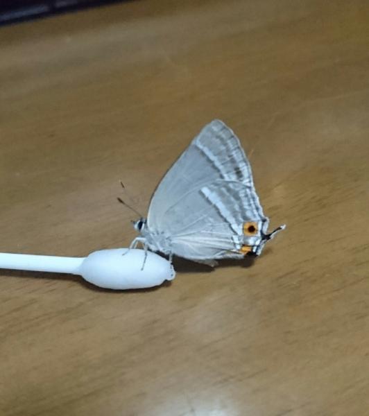 ヒロオビミドリシジミ母蝶2016