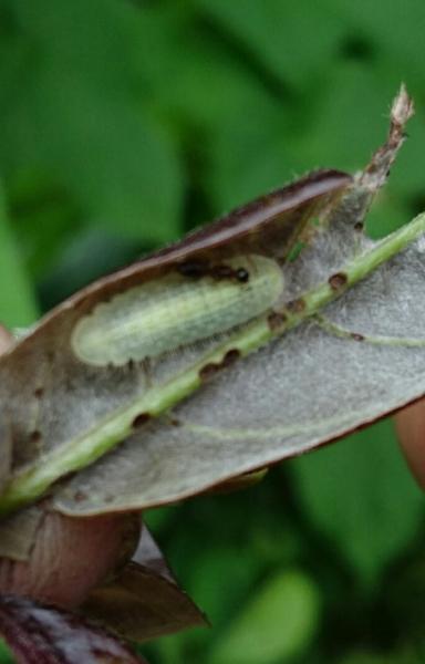 ムラサキシジミ幼虫とアリ1