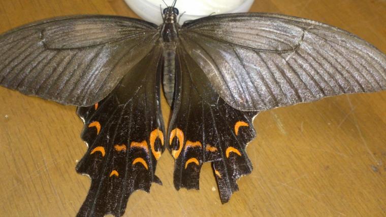 オナガアゲハ母蝶