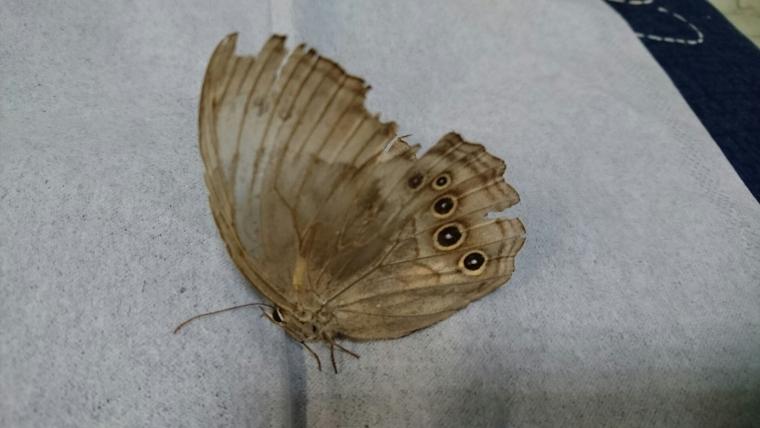 岡山県産オオヒカゲ母蝶2016