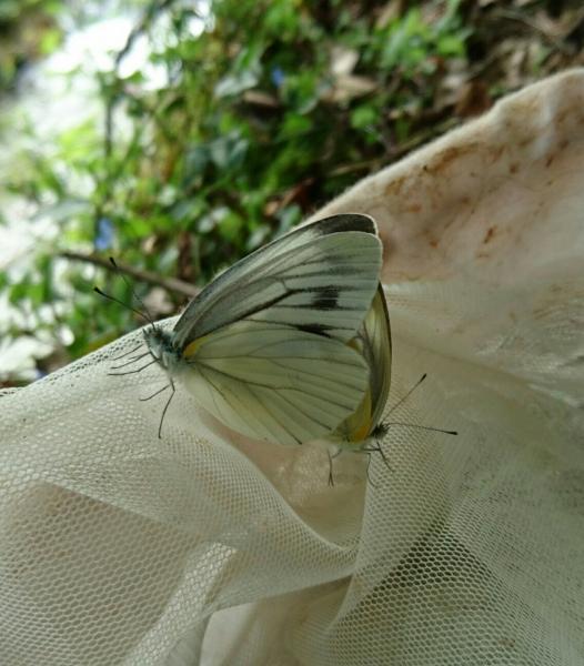 スジグロシロチョウ交尾ペア2016-09-24