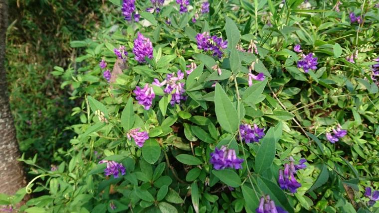 ナンテンハギ花