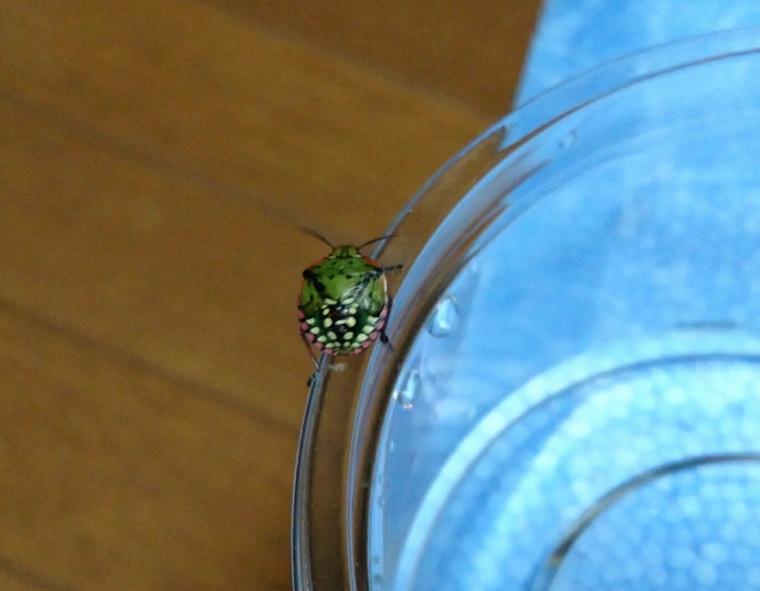 ミナミアオカメムシ幼虫