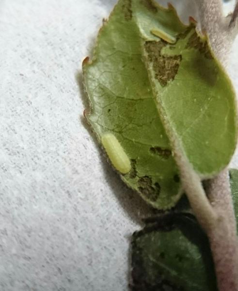 ヤクルリ初齢幼虫